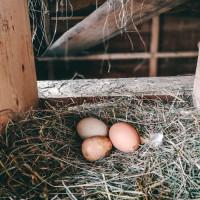 Eier von unseren glücklichen Hofhühnern